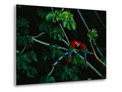 A Mated Pair of Red-And-Green Macaws Exhibit Bonding Behavior-Joel Sartore-Metal Print