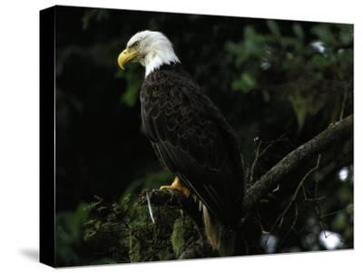 American Bald Eagle-Raymond Gehman-Stretched Canvas Print