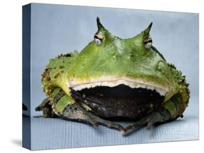 A Colombian Horned Frog--Stretched Canvas Print