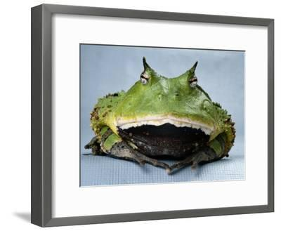A Colombian Horned Frog--Framed Photographic Print