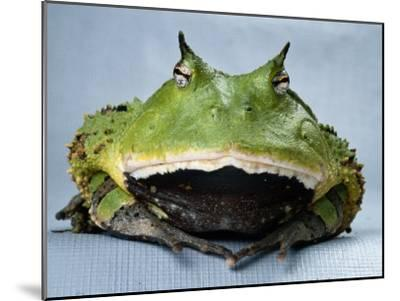 A Colombian Horned Frog--Mounted Photographic Print