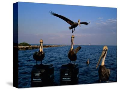 Brown Pelicans Perched on Outboard Motors--Stretched Canvas Print