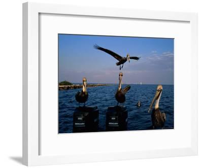 Brown Pelicans Perched on Outboard Motors--Framed Photographic Print