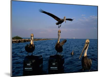 Brown Pelicans Perched on Outboard Motors--Mounted Photographic Print