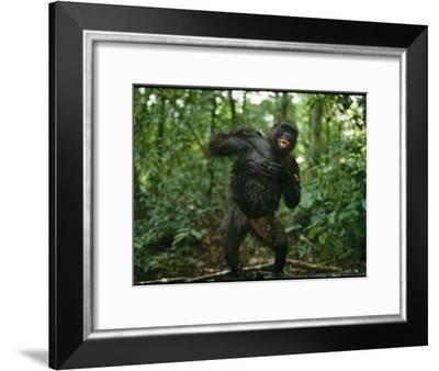 A Gorilla Beats its Chest to Achieve Recognition Within its Group--Framed Photographic Print