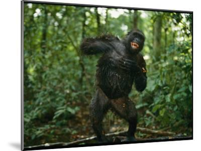 A Gorilla Beats its Chest to Achieve Recognition Within its Group--Mounted Photographic Print