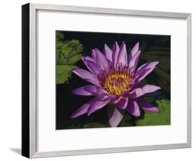 Fragrant Water Lily Flower--Framed Photographic Print