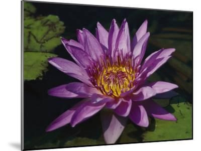 Fragrant Water Lily Flower--Mounted Photographic Print