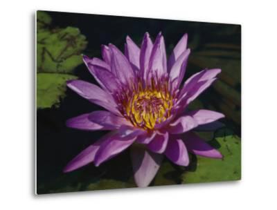 Fragrant Water Lily Flower--Metal Print