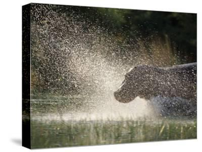 A Hippo Splashes into the Water-Nicole Duplaix-Stretched Canvas Print