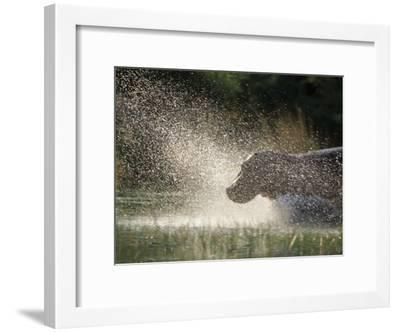 A Hippo Splashes into the Water-Nicole Duplaix-Framed Photographic Print