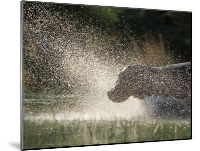 A Hippo Splashes into the Water-Nicole Duplaix-Mounted Photographic Print