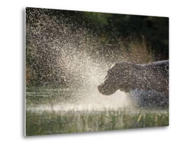 A Hippo Splashes into the Water-Nicole Duplaix-Metal Print