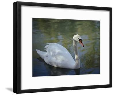 Close-up of a Tundra Swan Swimming in a Shaded Pond-George F^ Mobley-Framed Photographic Print