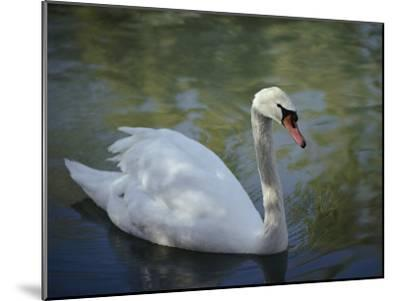 Close-up of a Tundra Swan Swimming in a Shaded Pond-George F^ Mobley-Mounted Photographic Print