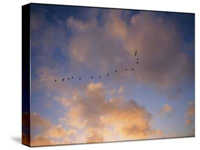 Cormorants in Formation-Marc Moritsch-Stretched Canvas Print