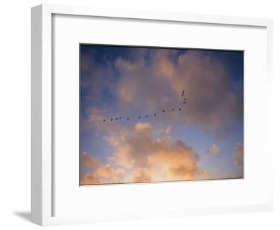 Cormorants in Formation-Marc Moritsch-Framed Photographic Print