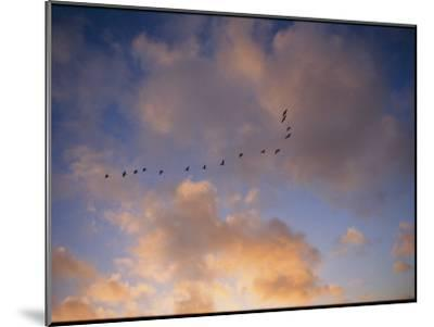 Cormorants in Formation-Marc Moritsch-Mounted Photographic Print