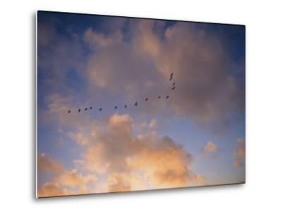 Cormorants in Formation-Marc Moritsch-Metal Print