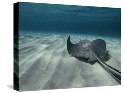 A Southern Stingray Swims Near the Ocean Bed-Bill Curtsinger-Stretched Canvas Print