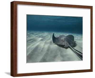 A Southern Stingray Swims Near the Ocean Bed-Bill Curtsinger-Framed Photographic Print