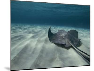 A Southern Stingray Swims Near the Ocean Bed-Bill Curtsinger-Mounted Photographic Print