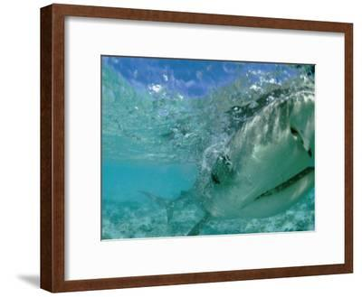A Tiger Shark Hunting for an Albatross Fledgling to Eat-Bill Curtsinger-Framed Photographic Print