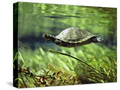 A Freshwater Turtle Swimming Underwater-Bill Curtsinger-Stretched Canvas Print