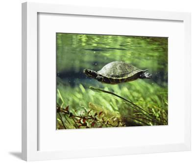 A Freshwater Turtle Swimming Underwater-Bill Curtsinger-Framed Photographic Print