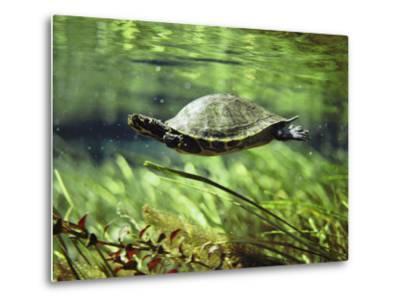 A Freshwater Turtle Swimming Underwater-Bill Curtsinger-Metal Print