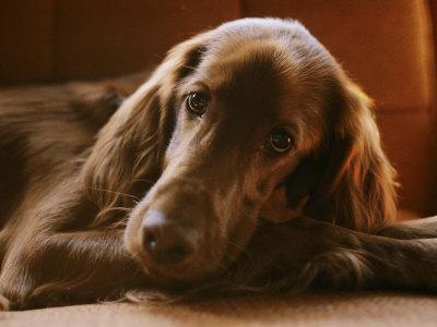Close View of an Irish Setter--Framed Photographic Print
