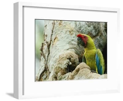 A Macaw Sits in a Tree-Steve Winter-Framed Photographic Print