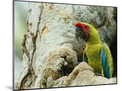 A Macaw Sits in a Tree-Steve Winter-Mounted Photographic Print