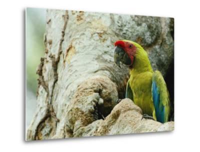 A Macaw Sits in a Tree-Steve Winter-Metal Print