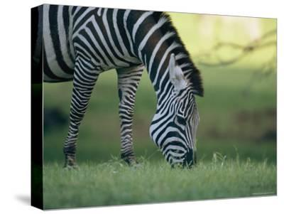 Close View of a Grazing Grants Zebra--Stretched Canvas Print
