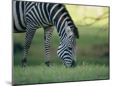 Close View of a Grazing Grants Zebra--Mounted Photographic Print