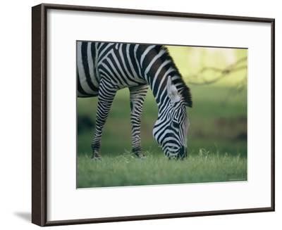 Close View of a Grazing Grants Zebra--Framed Photographic Print