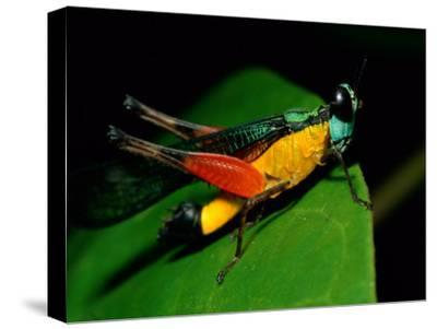 A Close View of a Rainforest Grasshopper-Tim Laman-Stretched Canvas Print