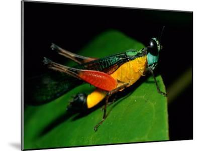A Close View of a Rainforest Grasshopper-Tim Laman-Mounted Photographic Print