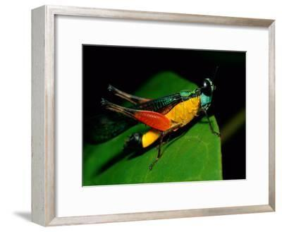 A Close View of a Rainforest Grasshopper-Tim Laman-Framed Photographic Print