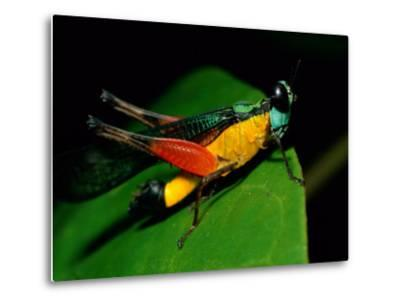 A Close View of a Rainforest Grasshopper-Tim Laman-Metal Print