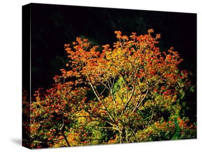 Flowering Cockspur Coral Trees-Tim Laman-Stretched Canvas Print