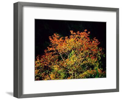 Flowering Cockspur Coral Trees-Tim Laman-Framed Photographic Print
