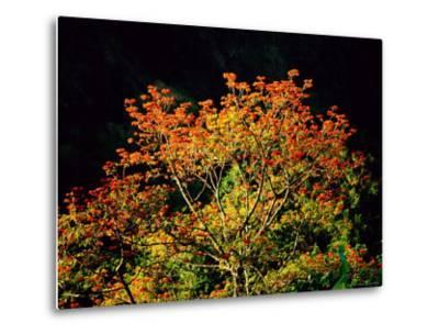 Flowering Cockspur Coral Trees-Tim Laman-Metal Print