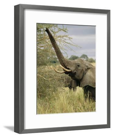 An African Elephant Uses its Trunk to Reach into a Tree-Roy Toft-Framed Photographic Print