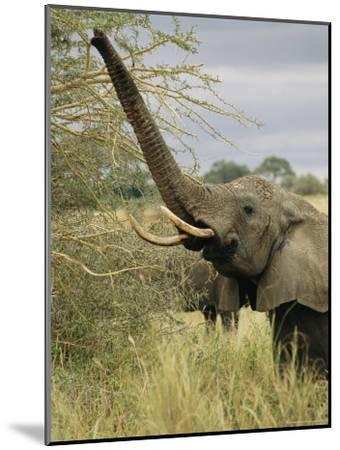 An African Elephant Uses its Trunk to Reach into a Tree-Roy Toft-Mounted Photographic Print