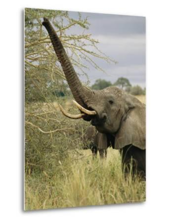 An African Elephant Uses its Trunk to Reach into a Tree-Roy Toft-Metal Print