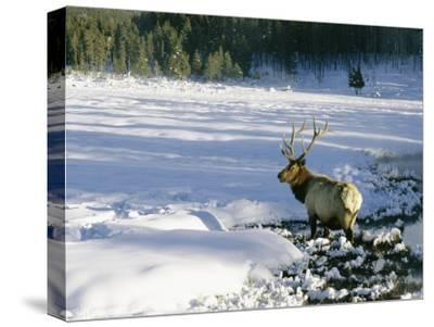 A Bull Elk Walks Through a Snow-Covered Field-Roy Toft-Stretched Canvas Print