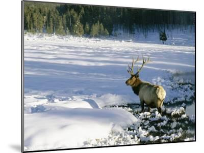 A Bull Elk Walks Through a Snow-Covered Field-Roy Toft-Mounted Photographic Print