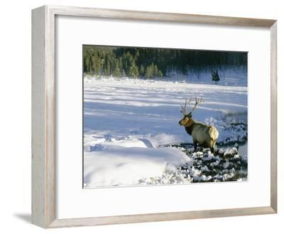 A Bull Elk Walks Through a Snow-Covered Field-Roy Toft-Framed Photographic Print